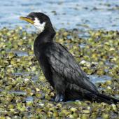 Little shag. Adult white-throated morph roosting on mudflat. Waipu Wildlife Refuge, June 2016. Image © Scott Brooks (ourspot) by Scott Brooks