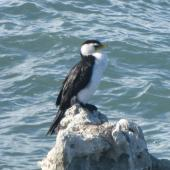 Little shag. Adult pied morph on rock. Kaikoura, May 2012. Image © James Mortimer by James Mortimer