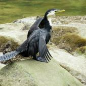 Little shag. Adult intermediate morph drying wings. Warkworth, November 2012. Image © Thomas Musson by Thomas Musson tomandelaine@xtra.co.nz