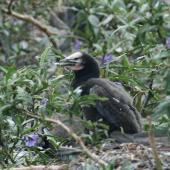 Little shag. Chicks in nest. Sulphur Point, Lake Rotorua, October 2007. Image © Phil Battley by Phil Battley