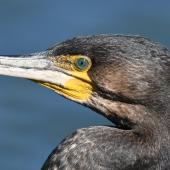 Black shag. Adult. Westlake, Halswell, Christchurch, September 2019. Image © Kelly Johnson by Kelly Johnson