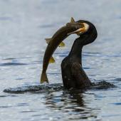 Black shag. Adult consuming a brown trout. Lake Te Anau, January 2017. Image © Anja Köhler by Anja Köhler