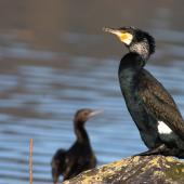 Black shag. Breeding adult (little black shag to left). Hutt estuary, June 2016. Image © George Curzon-Hobson by George Curzon-Hobson