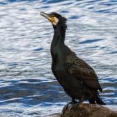 Black shag. Satiated adult. Lake Te Anau, January 2017. Image © Anja Köhler by Anja Köhler