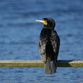 Black shag. Adult showing back. Lake Okareka. Image © Noel Knight by Noel Knight