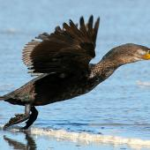 Black shag. Immature taking off. Wanganui, October 2009. Image © Ormond Torr by Ormond Torr