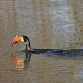 Black shag. Adult with large feral goldfish. The fish was too big - the bird eventually gave up. Kaituna River, May 2014. Image © Raewyn Adams by Raewyn Adams