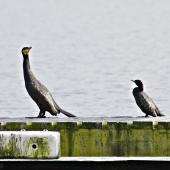Black shag. Size comparison with little black shag. Lake Rotoiti, September 2012. Image © Raewyn Adams by Raewyn Adams