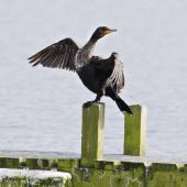 Black shag. Immature drying wings. Lake Rotoiti, September 2012. Image © Raewyn Adams by Raewyn Adams