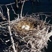 Black shag. Nest with 3 eggs. Lake Rotorua, Kaikoura, September 1958. Image © Department of Conservation (image ref: 10031688) by Peter Morrison, Department of Conservation Courtesy of Department of Conservation