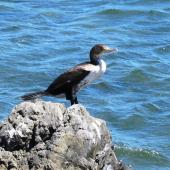 Pied shag. Juvenile standing on rock. Green Point, Porirua City, March 2005. Image © Ian Armitage by Ian Armitage
