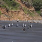 Pied shag. Flock resting on beach with oystercatcher. Near Muriwai. Image © Art Polkanov by Art Polkanov