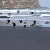 Pied shag. Flock taking off together. Near Muriwai. Image © Art Polkanov by Art Polkanov