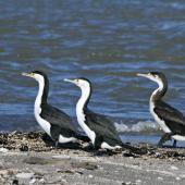Pied shag. Immature bird following two adults. Thornton, April 2011. Image © Raewyn Adams by Raewyn Adams