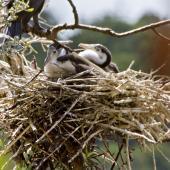 Pied shag. Chicks in the nest. Tauranga, February 2010. Image © Raewyn Adams by Raewyn Adams