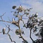 Pied shag. Colony in tree. Tauranga, September 2011. Image © Raewyn Adams by Raewyn Adams