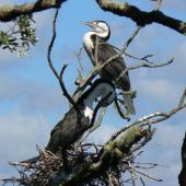 Pied shag. Pair at nest, one preening. Bay of Islands, January 2011. Image © Joke Baars by Joke Baars