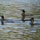 Little black shag. Part of fishing flock. Wanganui, November 2010. Image © Ormond Torr by Ormond Torr