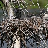 Little black shag. Adult on nest. Wanganui, December 2010. Image © Ormond Torr by Ormond Torr