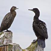 Little black shag. Immature (left) and adult resting. Tauranga, November 2010. Image © Raewyn Adams by Raewyn Adams