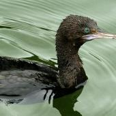 Little black shag. Close view of adult swimming showing eye colour. Wanganui, November 2009. Image © Ormond Torr by Ormond Torr