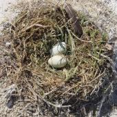 New Zealand king shag. Nest with 2 eggs. Duffers Reef, October 2002. Image © Rob Schuckard by Rob Schuckard