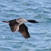 New Zealand king shag. Adult in flight. Marlborough Sounds, January 2011. Image © Mennobart Van Eerden by Mennobart Van Eerden