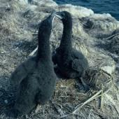 New Zealand king shag. Chicks on nest. Duffers Reef, Pelorus Sound, October 1962. Image © Department of Conservation (image ref: 10038239) by John O'Brien, Department of Conservation Courtesy of Department of Conservation