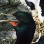 Stewart Island shag. Adult bronze morph - close-up of head. Codfish Island, December 1966. Image © Department of Conservation (image ref: 10035733) by Brian Bell, Department of Conservation Courtesy of Department of Conservation