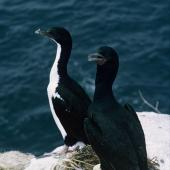 Stewart Island shag. Pied morph and bronze morph adults at nest with eggs. Codfish Island, December 1966. Image © Department of Conservation (image ref: 10038257) by Brian Bell, Department of Conservation Courtesy of Department of Conservation