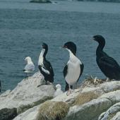Stewart Island shag. Pied and bronze morph adults. Codfish Island, December 1966. Image © Department of Conservation (image ref: 10038256) by Brian Bell, Department of Conservation Courtesy of Department of Conservation