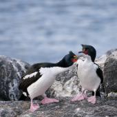Chatham Island shag. Adults in courtship. Manukau Point, Chatham Island, September 2020. Image © Denise Poyner by Denise Poyner