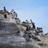 Chatham Island shag. Breeding colony. Point Weeding, Chatham Islands, September 2016. Image © Oscar Thomas by Oscar Thomas https://www.flickr.com/photos/kokakola11/