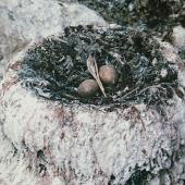Chatham Island shag. Nest with 2 heavily stained eggs. Okawa Point, Chatham Island, October 1973. Image © Department of Conservation (image ref: 10038079) by Rod Morris, Department of Conservation Courtesy of Department of Conservation