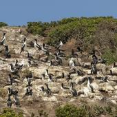 Chatham Island shag. Breeding colony. Star Keys, Chatham Islands, November 2020. Image © James Russell by James Russell