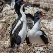 Chatham Island shag. Pair at nest. Star Keys, Chatham Islands, November 2020. Image © James Russell by James Russell