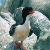 Bounty Island shag. Adult. Bounty Islands, December 1997. Image © Andrea Booth, Department of Conservation by Andrea Booth, Department of Conservation