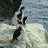 Bounty Island shag. Adults and juveniles at roost. Bounty Islands. Image © Department of Conservation (image ref: 10034336) by Murray Williams, Department of Conservation Courtesy of Department of Conservation