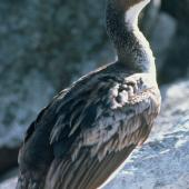 Bounty Island shag. Juvenile. Bounty Islands, December 1997. Image © Andrea Booth, Department of Conservation by Andrea Booth, Department of Conservation