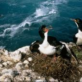 Auckland Island shag. Adults on nests. Enderby Island, Auckland Islands, February 1988. Image © Department of Conservation (image ref: 10038549) by Graeme Taylor, Department of Conservation Courtesy of Department of Conservation