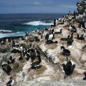 Auckland Island shag. Breeding colony. East Bay, Enderby Island, Auckland Islands, December 2006. Image © Andrew Maloney by Andrew Maloney