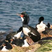 Auckland Island shag. Adults on nests with one bird showing gular pouch. Enderby Island, Auckland Islands, December 2006. Image © Andrew Maloney by Andrew Maloney