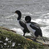 Campbell Island shag. Adults. Monument Harbour, Campbell Island, January 2006. Image © Colin Miskelly by Colin Miskelly
