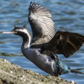 Spotted shag. Adult losing breeding plumage. Riverton, Aparima River mouth, August 2017. Image © Anja Köhler by Anja Köhler