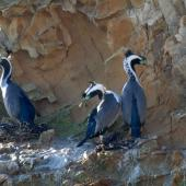 Spotted shag. Three birds in breeding plumage. Matiu/Somes Island, June 2010. Image © Peter Reese by Peter Reese