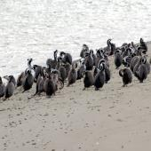 Spotted shag. Flock roosting on beach. Ashley estuary, Canterbury, September 2012. Image © Peter Reese by Peter Reese