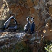 Spotted shag. Two pairs in breeding plumage at nests. Matiu/Somes Island, June 2010. Image © Peter Reese by Peter Reese