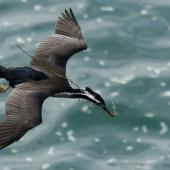 Spotted shag. Dorsal view of adult in breeding plumage in flight with nesting material. Otago Peninsula, September 2011. Image © Glenda Rees by Glenda Rees http://www.flickr.com/photos/nzsamphotofanatic/