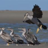 Spotted shag. Flock of juveniles roosting, one in flight landing. Ashley estuary, Canterbury, May 2014. Image © Steve Attwood by Steve Attwood http://www.flickr.com/photos/stevex2/