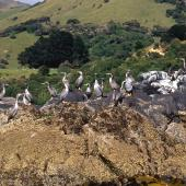 Spotted shag. Birds at breeding colony. Akaroa  Harbour. Image © Terry Greene by Terry Greene